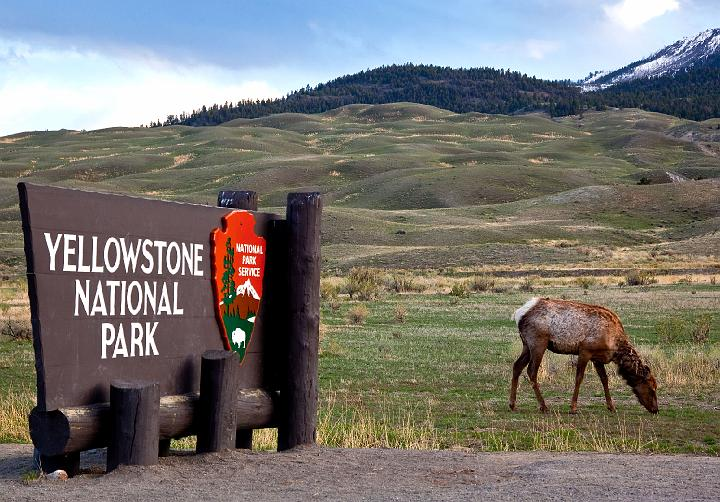 Welcome to Yellowstone image with Elk.